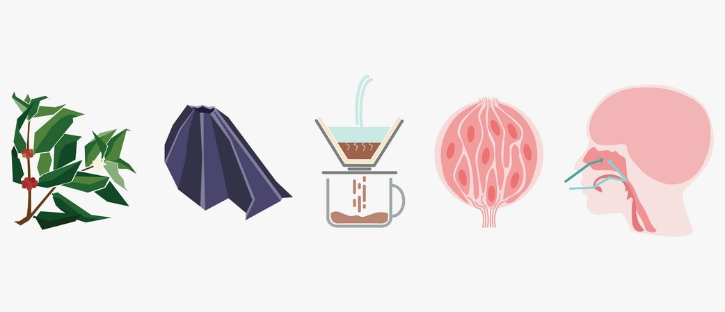 Flavour Pathways - Understanding the creation and perception of flavour chemistry in Coffee