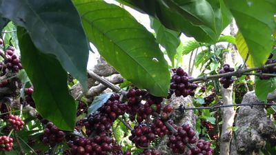 The future of coffee is Canephora
